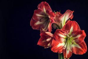 Фото бесплатно Цветок, амариллис, цветы