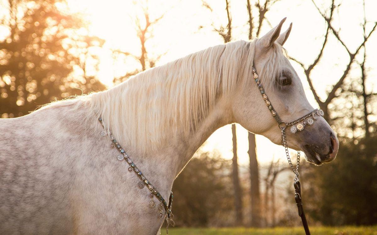Обои конь, лошадь, белая, морда, узда, грива картинки на телефон