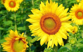 Фото бесплатно подсолнухи, лепестки, желтые, стебли, листья, зеленые