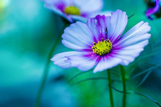 Фото бесплатно пурпурный, цветок Космос, макро