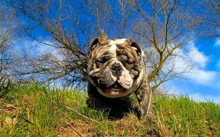 Бесплатные фото бульдог,морда,шкура,складки,трава,дерево