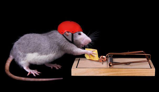 Photo free rat, cheese, humor