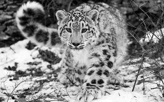 Фото бесплатно снежный барс, ирбис, морда