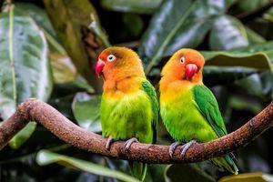 Заставки Попугаи, Неразлучники, птицы