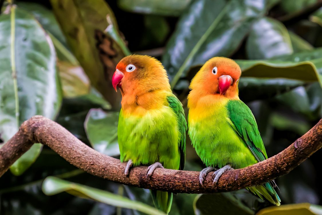 Фото бесплатно Попугаи, Неразлучники, птицы - на рабочий стол