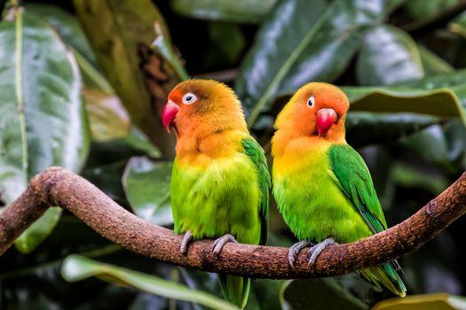 Фото бесплатно Попугаи, Неразлучники, птицы