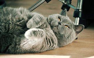 Бесплатные фото кот,британец,морда,глаза желтые,лапы,шерсть