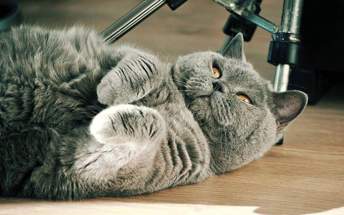 Фото бесплатно кот, британец, морда - на рабочий стол