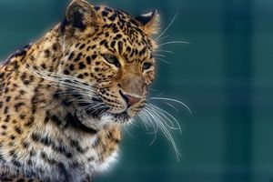 Photo free leopard, predator, view