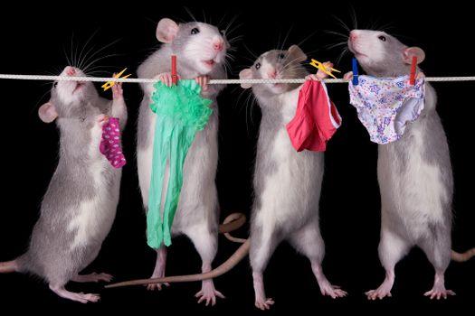 Заставки крысы, бельё, верёвка, юмор