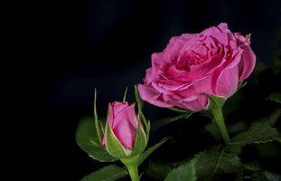 Бесплатные фото роза,розы,цветок,цветы,флора,чёрный фон
