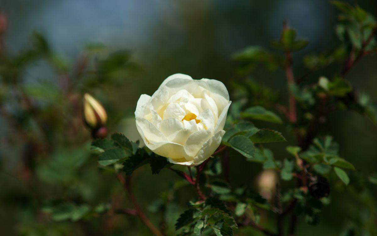 Фото бесплатно куст, роза, лепестки, белые, бутоны, листья, зеленые, цветы