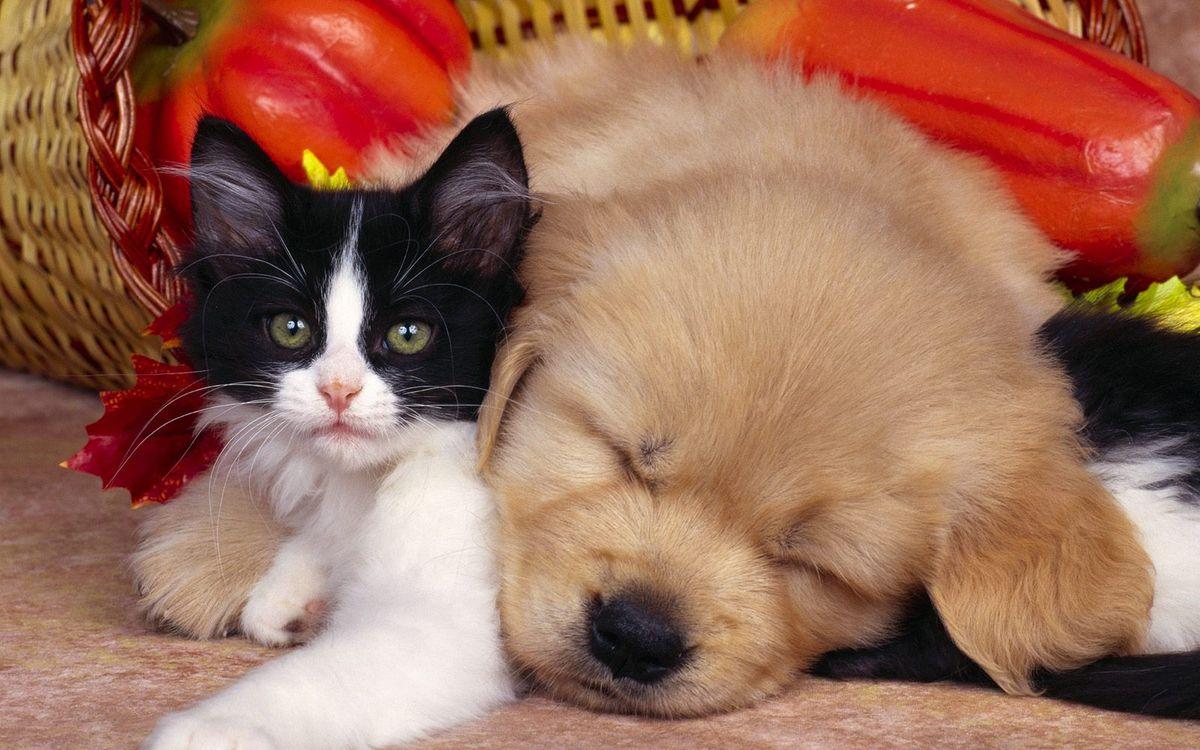 Фото бесплатно котенок, щенок, морды, лапы, щерсть, друзья, объятия, ситуации