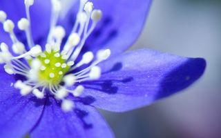 Бесплатные фото цветок,лепестки,синие,пестики,тычинки,белые
