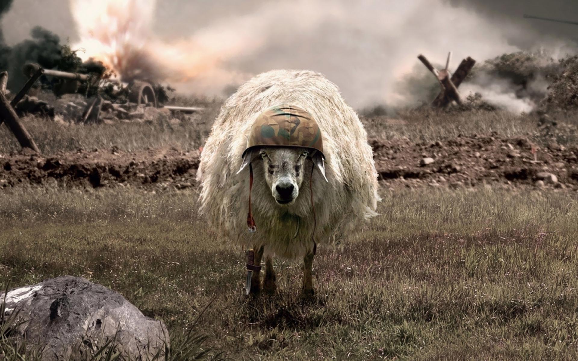 овца, каска, шерсть