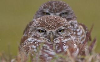 Фото бесплатно совята, птенцы, глаза