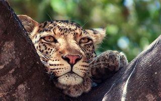 Бесплатные фото дерево,леопард,морда,глаза,шерсть,лапы