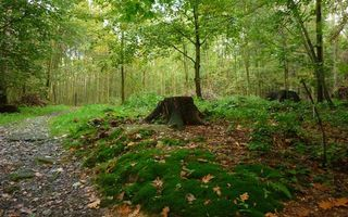 Фото бесплатно лес, деревья, кустарник, тропинка, пенек, мох, трава, листва