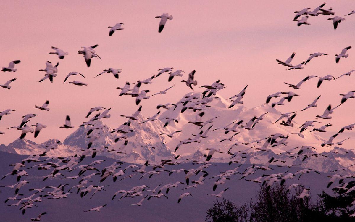 Фото бесплатно птицы, стая, полет, крылья, горы, снег, небо, птицы