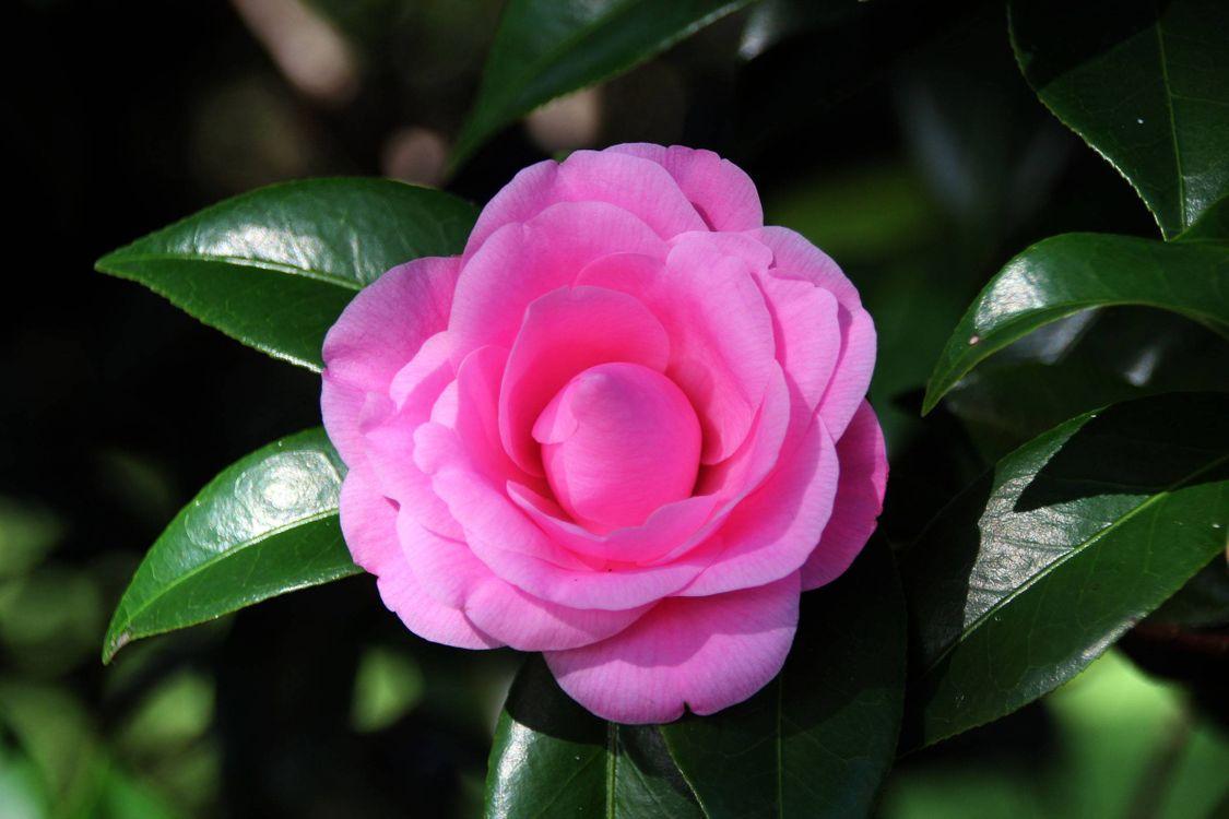 Фото бесплатно Camellia Japonica, камелия, лепестки, листья, макро, цветы, флора, цветы