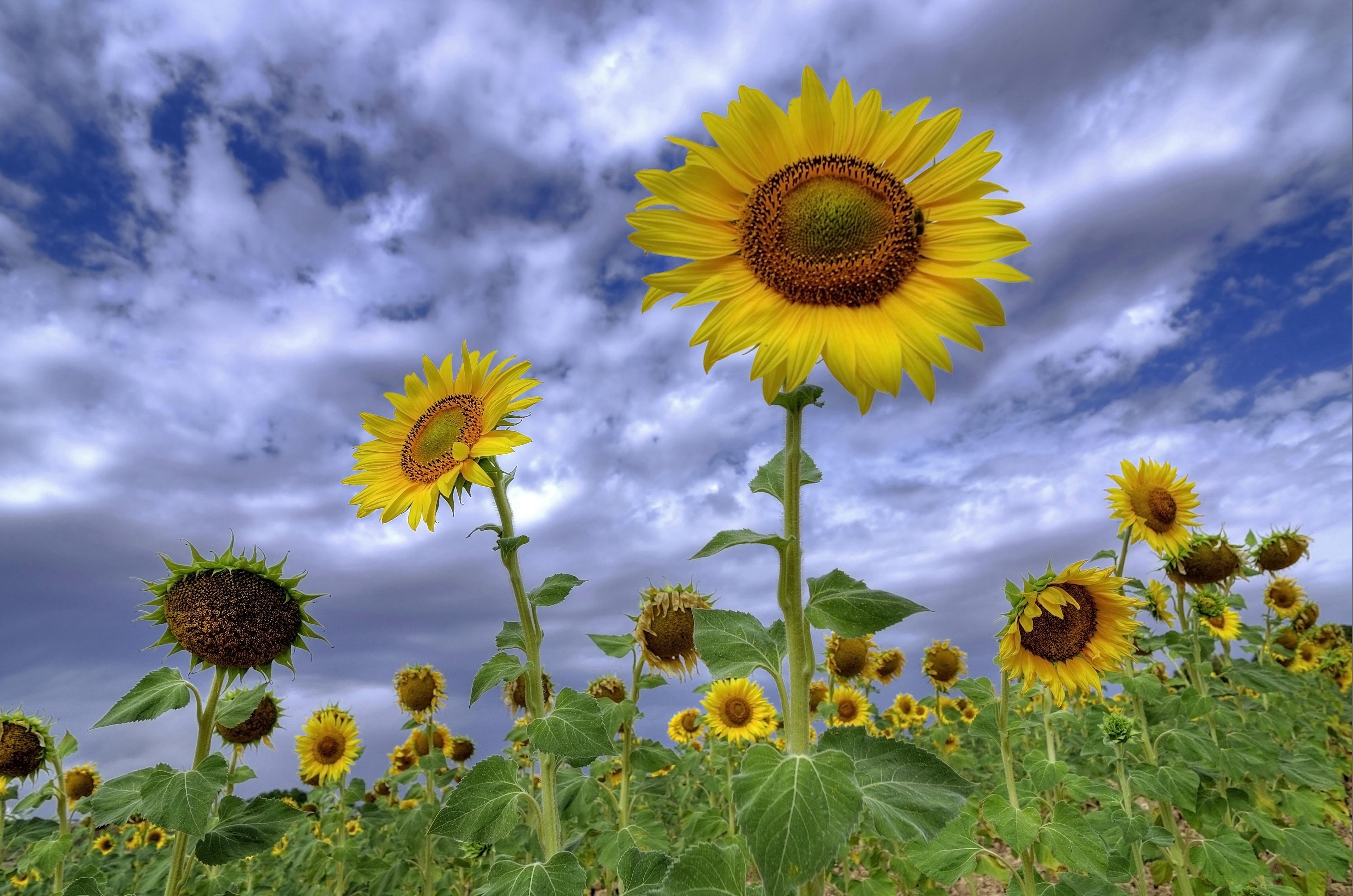 обои поле, подсолнухи, цветы, флора картинки фото