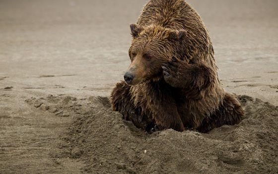 Photo free bear, wet, wool