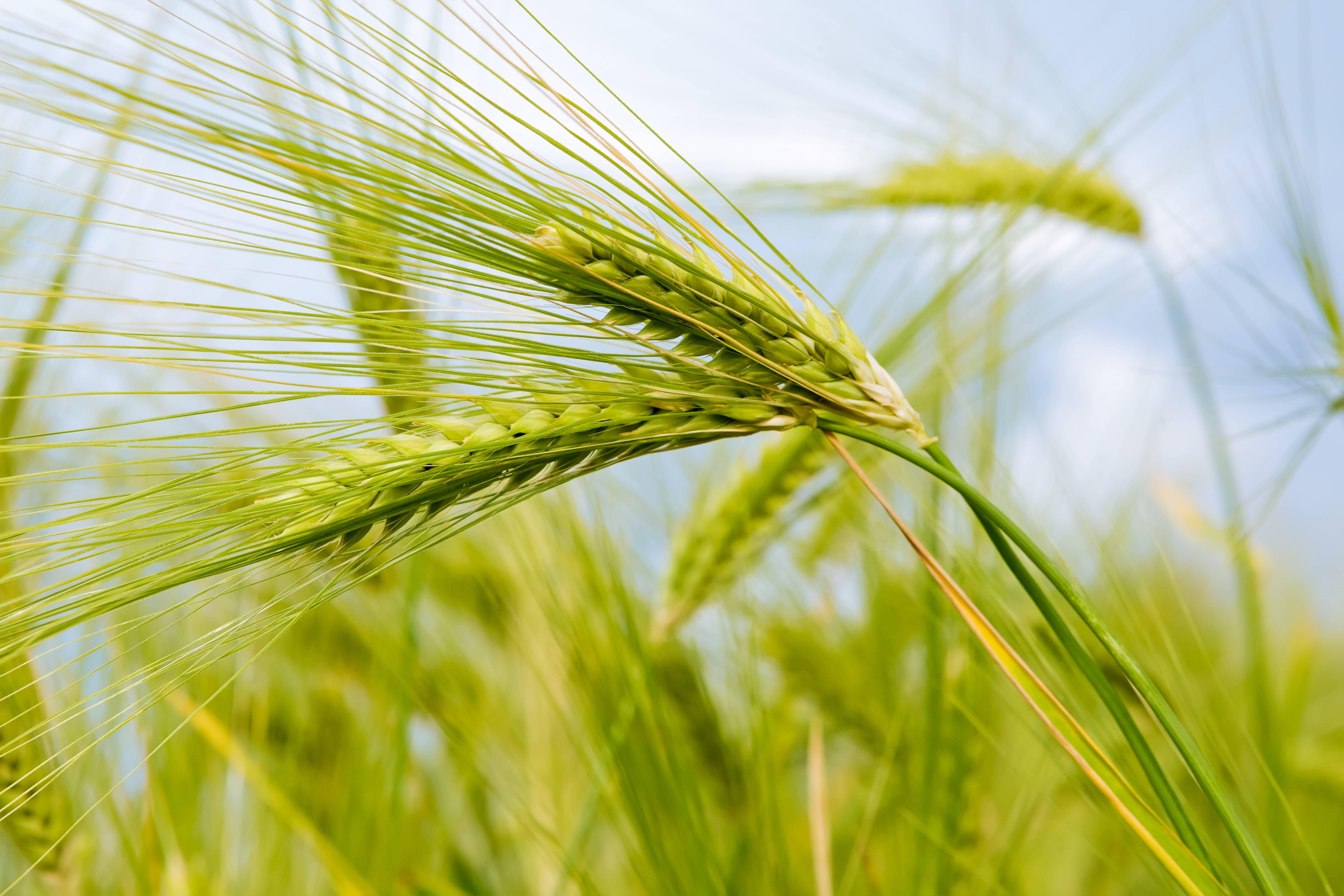 колосья пшеницы фото картинки прощаю тех