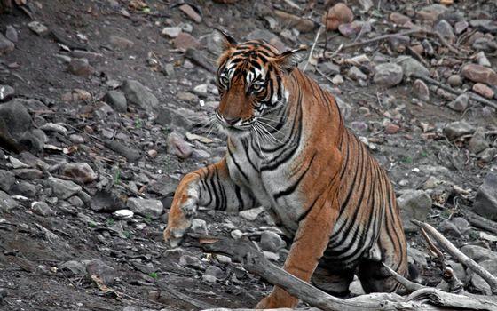 Photo free striped, predator, stones