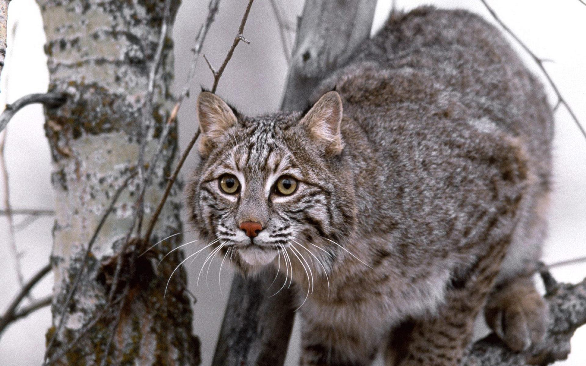 природа животные ветка деревья рысь nature animals branch trees lynx  № 559929 бесплатно