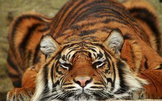 Фото бесплатно хищник, тигр, шерсть