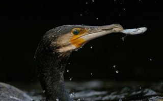 Фото бесплатно водоплавающая птица, клюв, рыбка