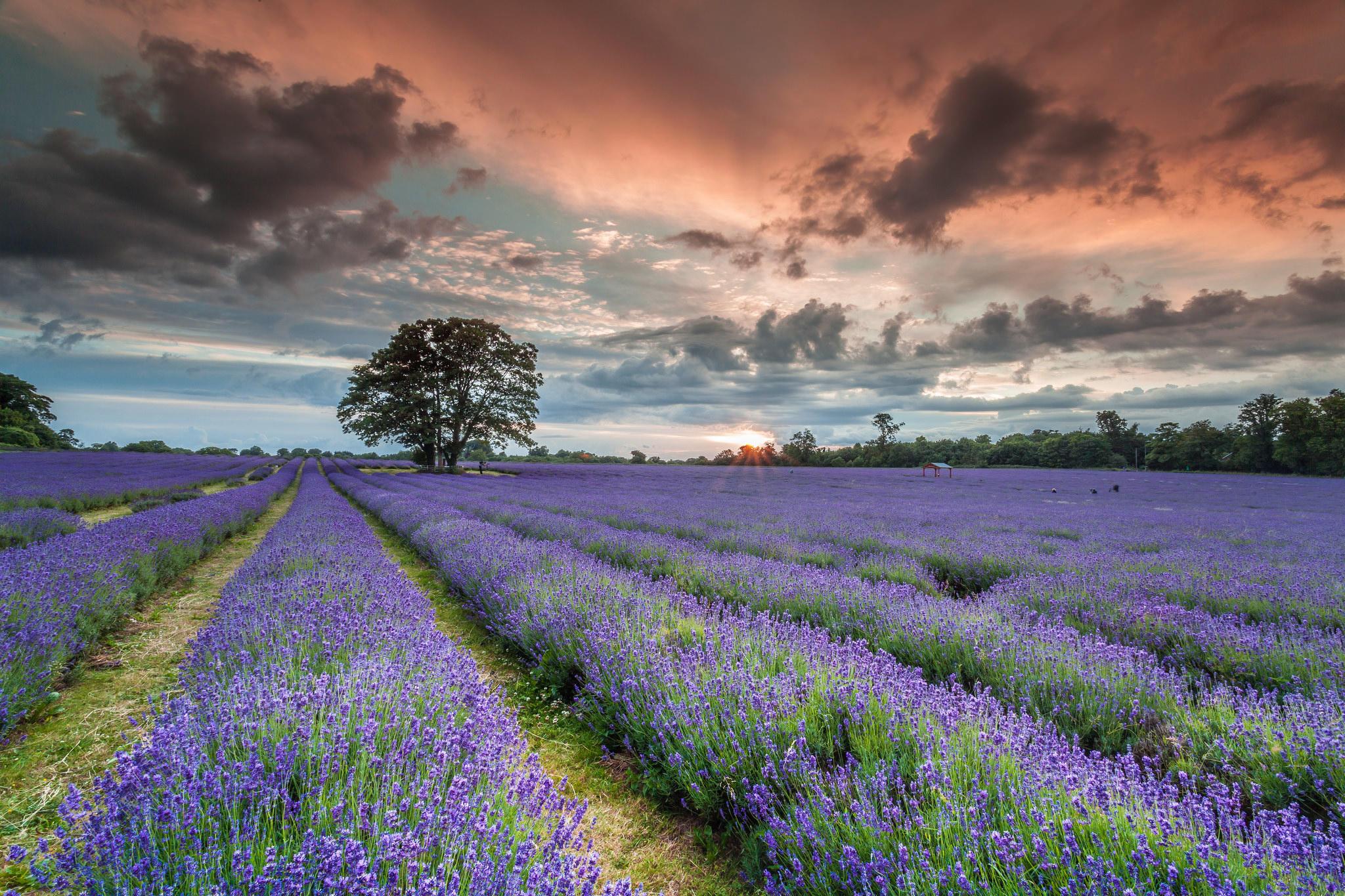 Обои закат, поле, лаванда, цветы