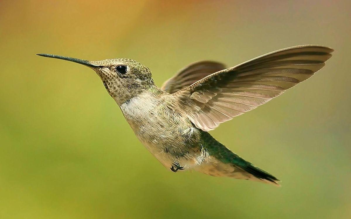 Фото бесплатно колибри, полет, клюв - на рабочий стол