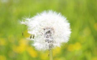 Заставки одуванчик,полевой,семена,пух,белый,стебель