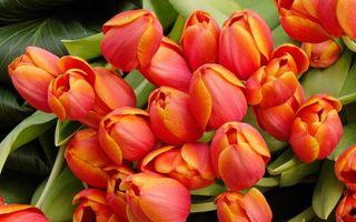 Бесплатные фото тюльпаны,лепестки,бутоны,листья,зеленые