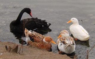 Фото бесплатно черный лебедь, утки, клювы
