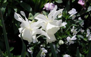 Заставки клумба,цветы,лепестки,белые,стебли,листья,зеленые