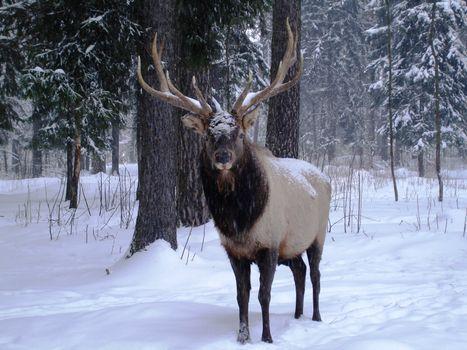 Заставки зима, лес, олень