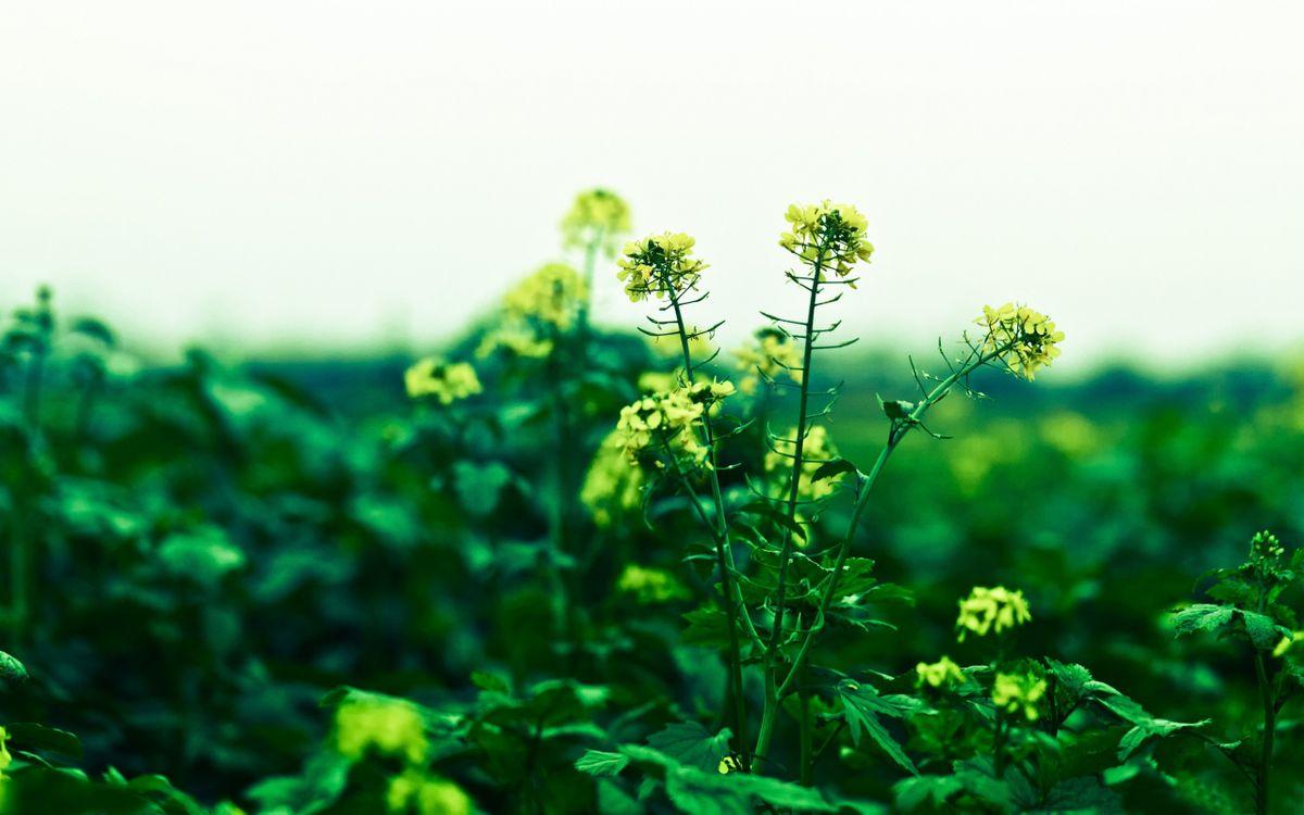 Фото бесплатно Канолы, цветок, цветы