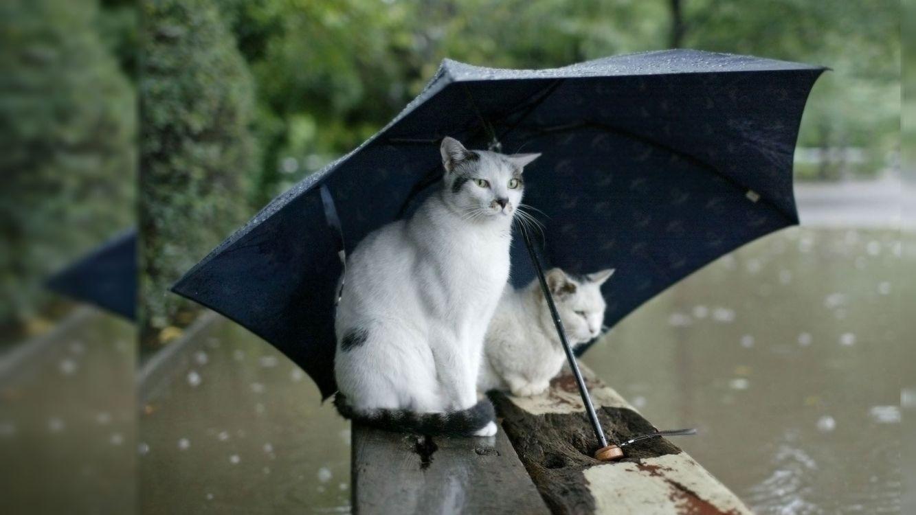 Фото бесплатно бревна, кошки, зонтик, черный, дождь, лужи, кошки