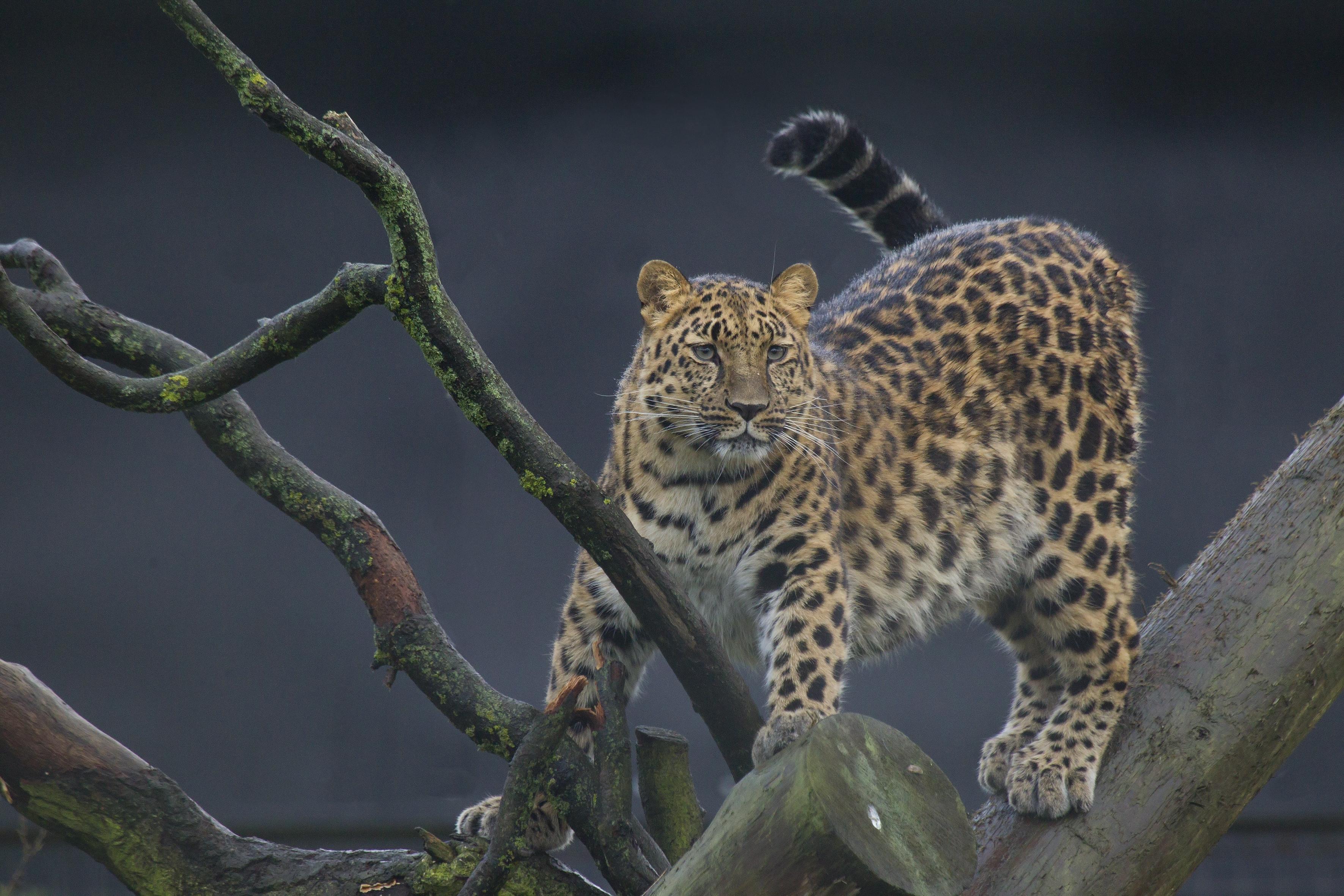 обои Леопард, вид хищных млекопитающих семейства кошачьих, животное картинки фото