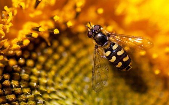 Фото бесплатно оса, нектар, подсолнух