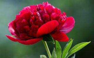 Бесплатные фото пион, лепестки, красные, стебель, листья, зеленые