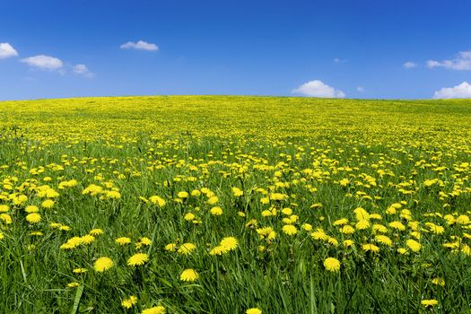 Фото бесплатно поле, одуванчики, цветы