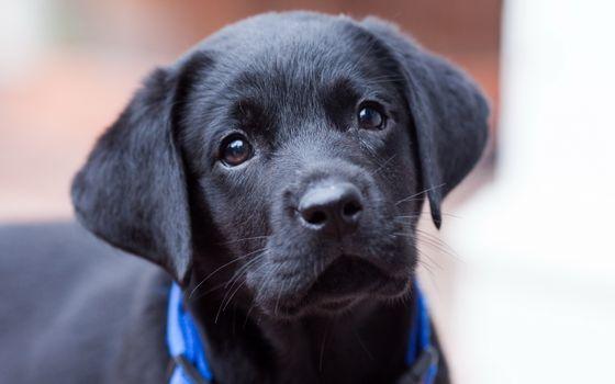 Фото бесплатно щенок, морда, глаза, шерсть, черная, ошейник