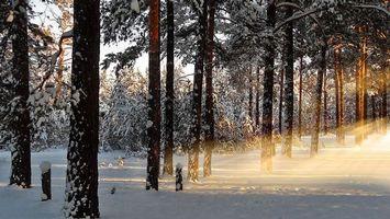 Фото бесплатно лес, сосны, зима