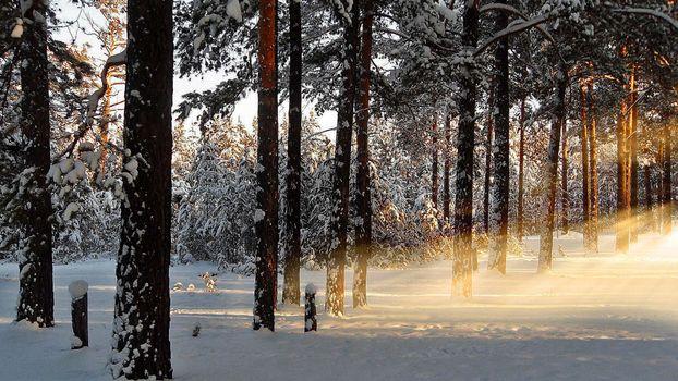 Бесплатные фото лес,сосны,зима,снег,сугробы,лучи солнца