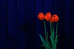 Фото бесплатно тюльпаны, цветы, флора
