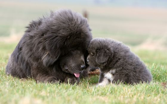 Заставки собака, щенок, мохнатые