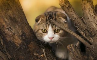 Бесплатные фото кот,вислоухий,морда,лапы,шерсть,дерево